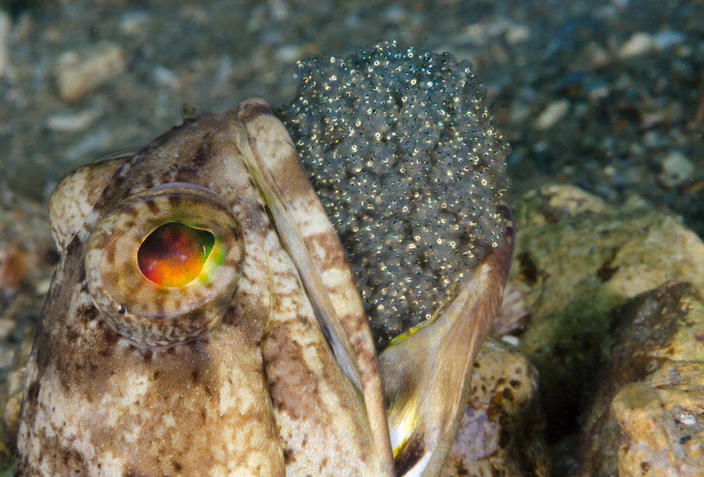 Banded Jawfish critter hunting in Grenada
